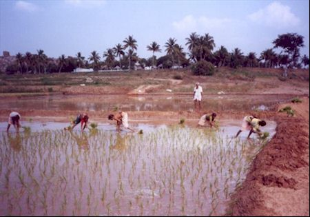Woman at work in a rice filed in Karnataka