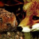 Il riccio e la volpe